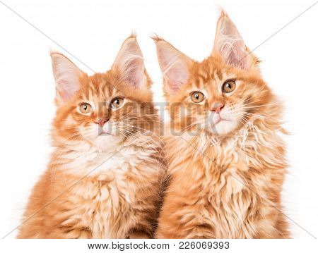 Fluffy Maine Coon Kittens Isolated Over White Background