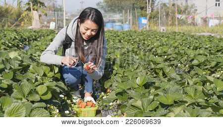 Happy woman picking strawberry in the field