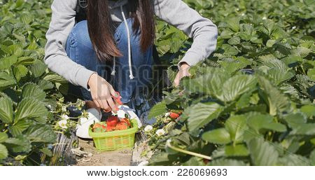 Woman picking strawberry in the field