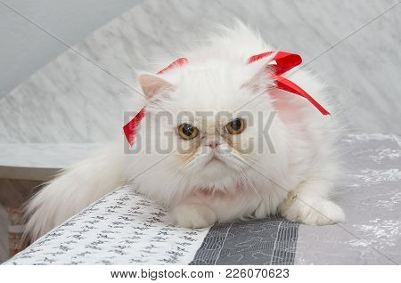 White Persian Cat With Brown Eyes And Ribbon