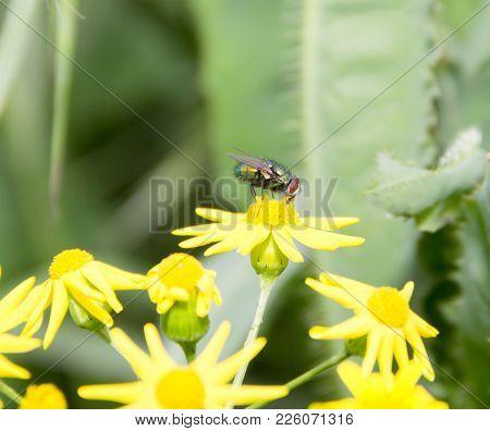 Lucilia Caesar Is Sitting On A Flower Of Senecio