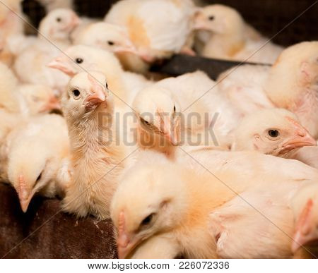 White Chickens At The Poultry Farm. The Production Of White Meat