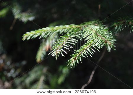Natural Background With Conifer Evergreen Pine Tree Branches.