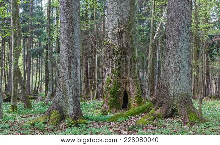 Two Old Spruces And Old Hollow Maple Tree In Middle In Springtime, Bialowieza Forest, Poland, Europe
