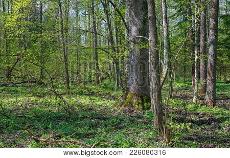 Deciduous Stand Of Bialowieza Forest Landscape Reserve At Sunnny Springtime Day With Wood Anemone Fl