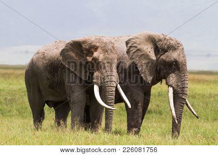 Two huge elephants inside the crater of Ngorongoro. Tanzania, Africa poster