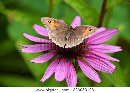 Pink Colored Echinacea Coneflower With Monarch Butterfly