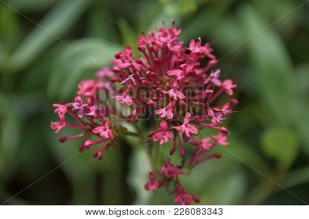 Close-up Of A Centranthus Ruber Plant With Green Background