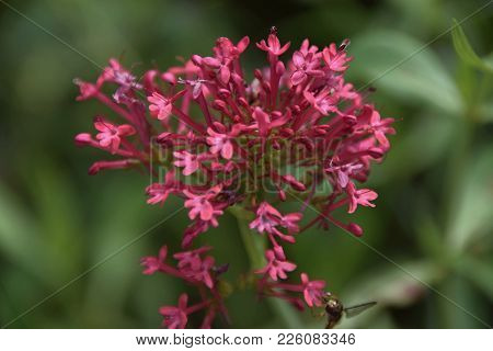 Centranthus Ruber With Green Background In A Botanical Garden