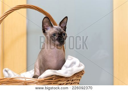 Bald Hairless Cat, The Cat Of Breed The Canadian Sphynx Sits In A Wicker Basket, Pet, Animal