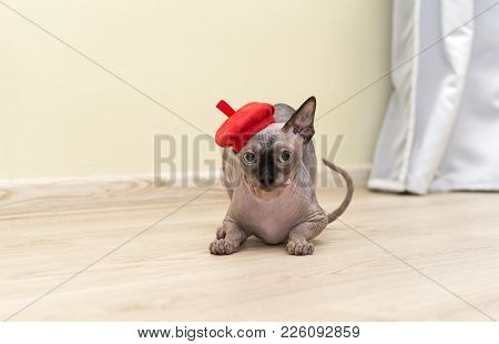 Bald Hairless Cat, The Cat Of Breed The Canadian Sphynx Sits On The Floor In A Red Beret With A Disg