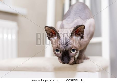 Bald Hairless Cat, The Cat Of Breed The Canadian Sphynx Sits On A Chair Looking Down, Preparing To J
