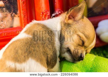 Sleeping Baby Chihuahua  Taking A Nap, Nature