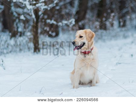 Closeup Portrait Of White Retriever Dog In Winter Background. White Golden Retriever Puppy Sitting O