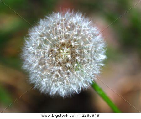 A Little Dandelion In The Field