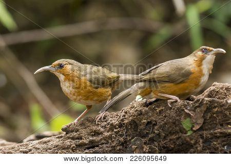 Rusty Cheeked Scimitar Babbler :  Bird Ishot N Thailand