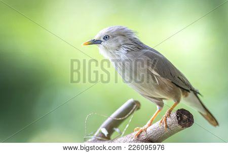 Chestnut Tailed Starling :  Bird Ishot N Thailand