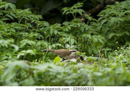 White Browed Scimitar Babbler :  Bird Ishot N Thailand