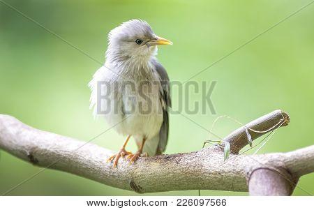Chestnut Tailed Starling : Bird Shot In Thailand