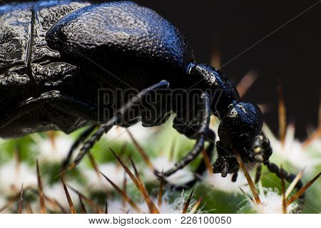 Macro picture of a black bug on a cactus