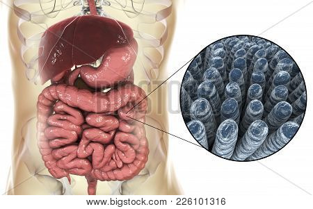 Intestinal Anatomy And Histology, 3d Illustration Showing Parts Of Digestive System And Close-up Vie