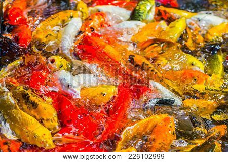 Koi Fish Swimming Beautiful Color Variations Natural Organic