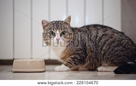 The Gray Striped Domestic Cat Eats From A Bowl.