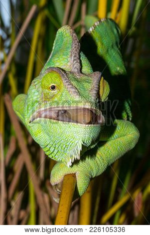 Chameleon From Yemen Called Yemen Chameleon Or Dragon Or Lizard With Open Mouth