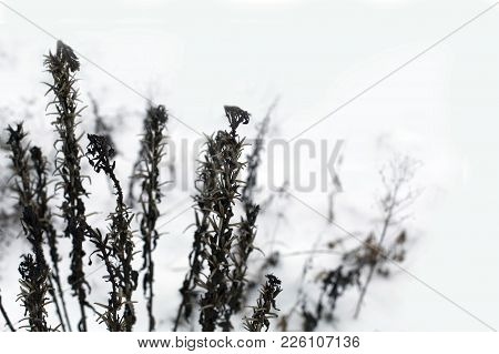 Dry Brown Black Winter Grass In Snow On A Meadow In A Daylight Background