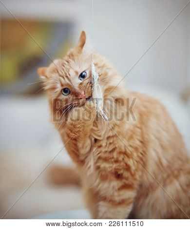 Portrait Of A Red Striped Domestic Cat With A Toy.