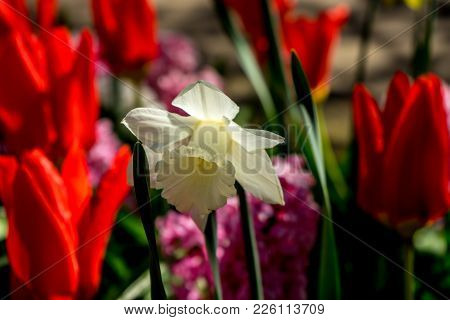 White Daffodil With Blurred Red Tulips In The Background In A Garden In Lisse, Netherlands, Europe