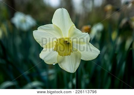 Cream Coloured Daffodil With Blurred Background In Lisse, Keukenhoff,  Netherlands, Europe