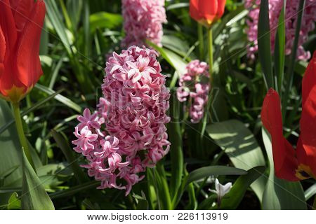 Pink Hyacinth Flowers In A Garden In Lisse, Netherlands, Europe