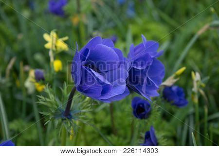 Blue Tulip Flower In A Garden In Lisse, Netherlands, Europe