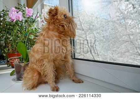 Dog Breed The Brussels Griffon Sits On The Windowsill And Looking Out The Window