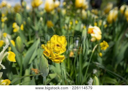 Yellow Daffodil Flowers In A Garden In Lisse, Netherlands, Europe