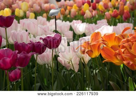 Bright Colored Tulip Flowers In A Garden In Lisse, Netherlands, Europe