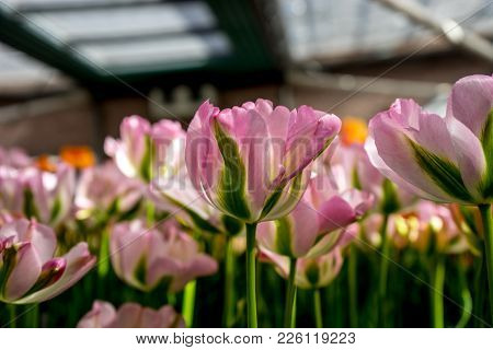 Pink And Green Tulip Flowers In A Garden In Lisse, Netherlands, Europe