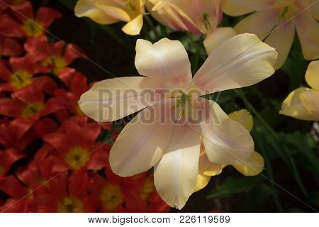Cream Tulip Flowers In A Garden In Lisse, Netherlands, Europe