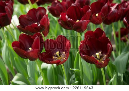Dark Maroon Tulip Flowers In A Garden In Lisse, Netherlands, Europe