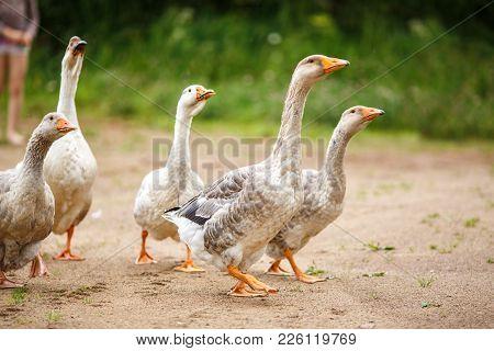 A Herd Of Beautiful White Geese Walking In A Meadow Near A Farmhouse