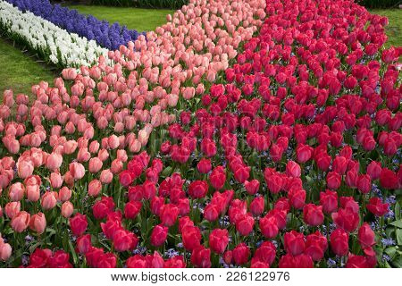 Row Of Colored Tulips At A Garden In Lisse, Netherlands, Europe