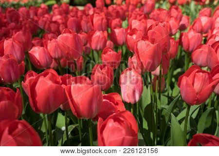 Red Tulip Buds In In Lisse, Keukenhoff,  Netherlands, Europe