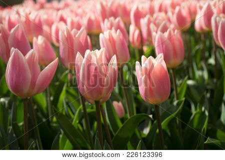 Pink And Rose Colored Tulip Flowers In A Garden In Lisse, Netherlands, Europe