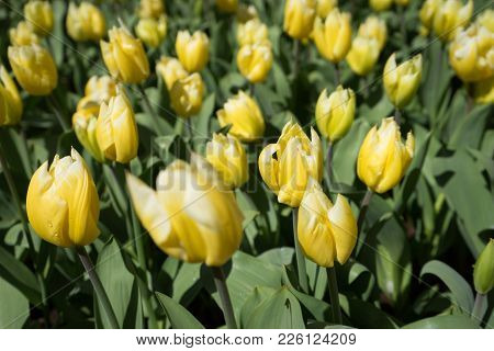 Yellow Tulip Flowers In In Lisse, Keukenhoff,  Netherlands, Europe