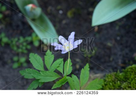Small Single Violet Flower At A Garden In Lisse, Netherlands, Europe