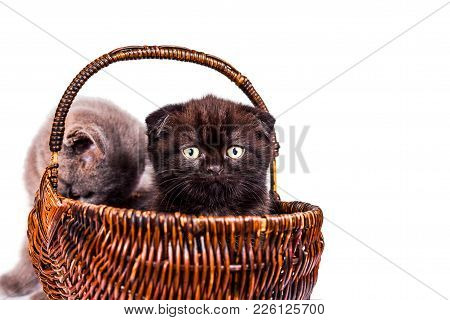 Two Cute Kittens Are Playing In The Wicker Basket. Scottish Straight And Scottish Fold Kitten Isolie