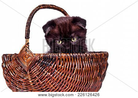 Cute Kitten Playing In The Wicker Basket. Scottish Fold Kitten Isoliert On White Background. Pet And