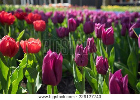 Maroon Colored Tulips With Red Flowers In A Garden In Lisse, Netherlands, Europe