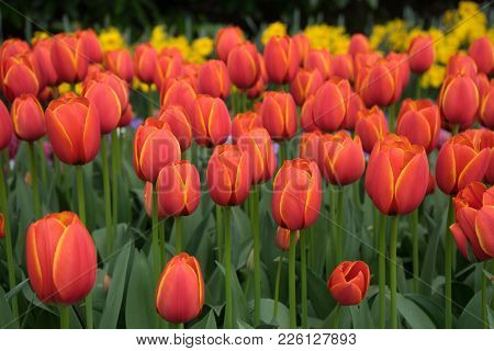 Fresh Bright Red Tulips With A Tinge Of Yellow  In Lisse, Keukenhoff,  Netherlands, Europe